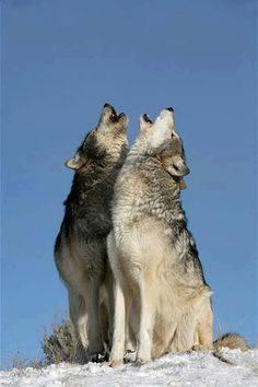 Call of the Wild - Alpha pair of Mackenzie Valley wolves howling #animals
