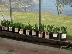 Potted tulips in the greenhouse. The roe deers are busy at night eating all the tulips in our garden, but they won't get the chance to eat these! March 27th 2016