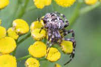 Hämähäkit, lukit