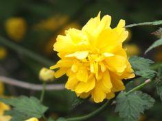 Forsythie (Goldglöckchen)
