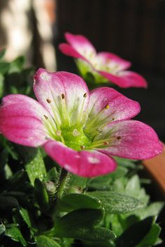 Saxifraga rosacea - Flickr - Photo Sharing!