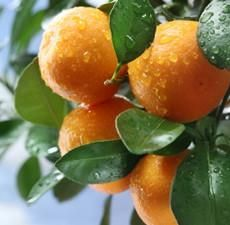 Buy pure Mandarin oil along with other therapeutic grade essential oils from Bulk Apothecary. We have some of the best prices online for pure Mandarin essential oil. Essential Oils For Headaches, Therapeutic Grade Essential Oils, Essential Oil Blends, Oil For Headache, Tangerine Essential Oil, Cellulite Scrub, Citrus Trees, Pure Oils, Alkaline Diet