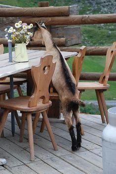 "Those years of watching Semi-Homemade on Food Network finally paid off as the goat proudly perfected his tablescape. ""Eat shit Sandra Lee,"" he whispered to himself. Country Charm, Country Life, Country Living, Farm Animals, Animals And Pets, Cute Animals, Semi Homemade, Goat Farming, Baby Goats"