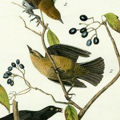 Audubon Bird Prints from Birds of America 1840