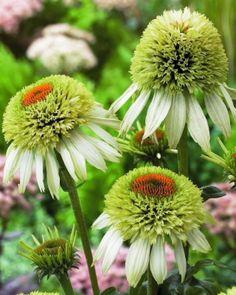 Echinacea flower – learn grow #echinacea http://www.growplants.org/growing/echinacea