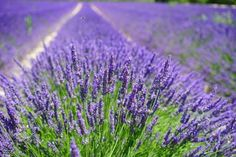 Using lavender essential oil in an aromatic bath is sensual, relaxing, purifying and just fun. English Lavender essential oils and plants Lavender Seeds, Growing Lavender, Lavender Oil, Lavender Plants, Lavender Bush, Provence Lavender, Lavender Garden, Lavender Flowers, Essential Oil Uses