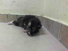 TO BE DESTROYED 7/9/14 ** BABY ALERT! ONLY 3 WEEKS OLD! FEMALE CAME WITH QUEEN (MOM, ISABELLA) A1004766 AND LITTER MATES A1004770(LUKE), A1004767(JENNIFER) AND A1004769(GENESIS) ** Brooklyn Center  My name is DIAMOND. My Animal ID # is A1004768. I am a female calico domestic sh mix. The shelter thinks I am about 3 WEEKS old.  I came in the shelter as a STRAY on 06/27/2014 from NY 11207. I came in with Group/Litter #K14-183679.