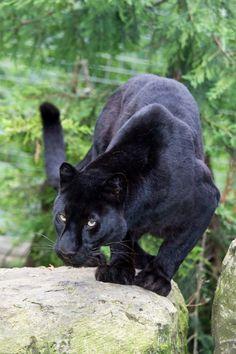 Black leopard by [ Greg ]