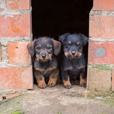 """Which one of us do you think is cuter?""....  Click on this image to find more cute pictures of #Dachshund #puppies"