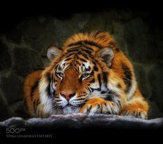 Tiger - Pinned by Mak Khalaf Animals  by albankicaj1