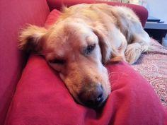 Nanne sul divano #goldenretriever