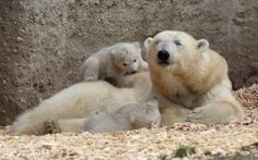 MUNICH, GERMANY - MARCH 19: 14 week-old twin polar bear cubs play next to their mother Giovanna during their first presentation to the media...