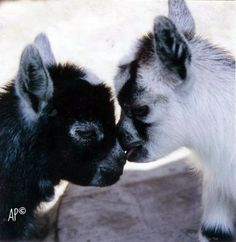 Two of my African Pygmy goats as babies <3 Always sharing their lovin'