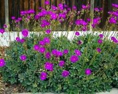FRONT 2 BEDS BEHIND BOXWOOD - Calandrinia spectabilis (Rock purslane) Moderate watering is best. On the coast and in