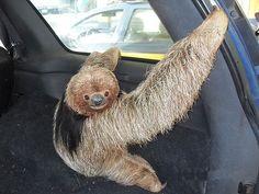 maned sloth