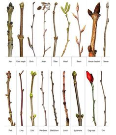 Natura Plant, In Natura, Trees And Shrubs, Trees To Plant, Deciduous Trees, Horticulture, Plant Identification, Forest School, Nature Study