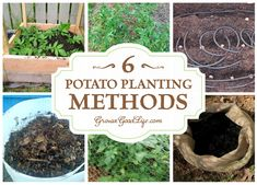 Growing potatoes in the backyard garden. Here are over 6 different ways you can plant potatoes in your backyard garden.