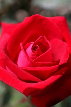 Red Rose (Mary Garden idea...sorrowful mysteries)