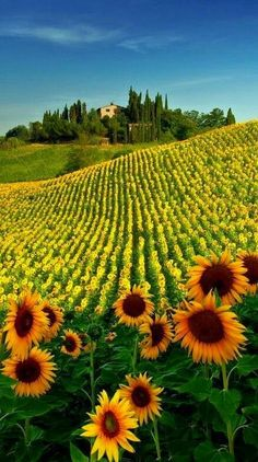 Toscana by Andre Passos Sunflower filed: San Gimignano, Tuscany, Italy Places To Travel, Places To See, Beautiful World, Beautiful Places, Beautiful Pictures, Amazing Photos, Beautiful Flowers, Valley Of Flowers, Sunflower Fields