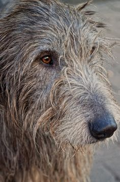 Irish Wolfhound ♥