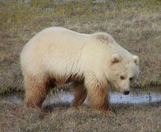 Hybrid animal #12: 12. Polar Bear + Grizzly Bear = Grolar Bear.
