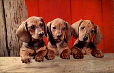 Dachshund Pups Dogs