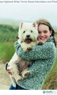 This guide contains West Highland white terrier - breed and information. Westies are a popular, energetic breed and great companions.
