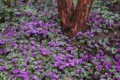 Cyclamen coum, around base of Tall Stewartia in Winter
