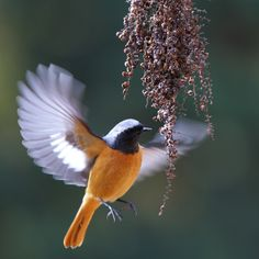 Scientific name: Phoenicurus auroreus (Pallas, 1776). English name: Daurian Redstart. Japanese name: ジョウビタキ (Jou-bitaki).