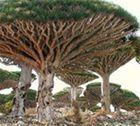 Sang de dragonnier - Le sang du dragonnier est une plante médicinale plus précisément un arbre dont la particularité est d'avoir une sève couleur rouge sang, qui est reconnu et réputé pour sa faculté de cicatrisation des blessures depuis la grande époque de l'Antiquité. Le sang du dragonnier est également... http://www.complements-alimentaires.co/wp-content/uploads/2014/12/sang_de_dragonnier_Croton-lechleri.jpg - Par Nathalie sur Compléments alimentair