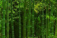 Phyllostachys edulis, moso bamboo