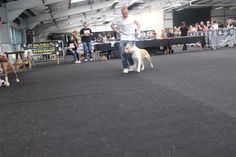 ABCK Dog Show - Collections - Google+ Blue Blood Bulldog, Blue Bloods, Dog Show, Collections, Google, Dogs, Animals, Animales, Animaux