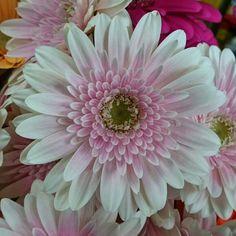 今日のガーベラ #flower #flowers #floweroftheday #naturechallenge #nature #nature_perfection #beautiful #japan #花 #ガーベラ (by non.mama.3)