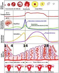 ciclo-menstrual.JPG (516×638)