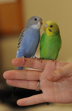 These look like my budgies.