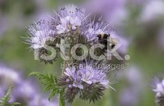 Bumblebee in a blue flower royalty-free stock photo Blue Flower Photos, Blue Flowers, Image Now, Royalty Free Stock Photos, Plants, Plant, Planets