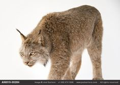 A+Canada+lynx+(Lynx+canadensis)+named+Yukon+at+Point+Defiance+Zoo.+He's+an+education+animal+that+came+here+as+a+baby+from+a+breeding+center+in+Arkansas.