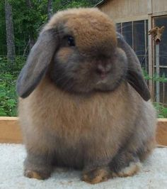 Fat bunny  ... Uploaded with Pinterest Android app. Get it here: http://bit.ly/w38r4m