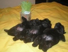 Snoozing Scottie-babies = HEAVEN <3 <3 <3