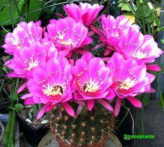 Echinopsis mamillosa ssp silvatica - (F. Ritter) P. J. Braun & Esteves 1995