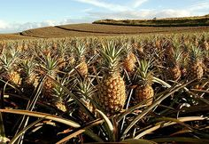 Hulaland Beach Blog: 5 Reasons to Pick Maui for Your Hawaiian Vacation, Upcountry Pineapple Tours