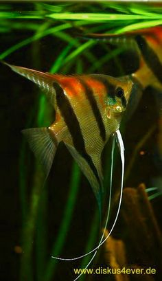 Summary: Many people are delighted by keeping live and colorful tropical fish at their home. Countless species of fish are kept at home as pets. There are several Tropical fish online stores that sell tropical fish online. Saltwater Aquarium Fish, Tropical Fish Aquarium, Home Aquarium, Aquascaping, Tropical Freshwater Fish, Freshwater Aquarium Fish, Cichlid Fish, Discus, Cichlids