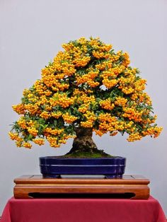 Bonsai trees can be sold at a vast price in the industry. Without the right size pot, a Bonsai tree cannot survive. Bonsai trees aren't grown for the aims of food manufacturing, medicinal uses, or for creating landscape. Ikebana, Plantas Bonsai, Bonsai Seeds, Tree Seeds, Fruit Trees, Trees To Plant, Fruit Flowers, Mini Plantas, Indoor Bonsai