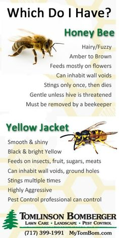 Essential Facts about Honey Bees vs. Yellow Jackets: Award-winning pest control company (or exterminators in old terminology) discusses how to tell if you have honey bees or yellow jackets and what to do. Honey Bee Hives, Honey Bees, Honey Bee Facts, Bee Life Cycle, Flower Poem, Types Of Bees, Bees And Wasps, Bugs And Insects, Lawn Care