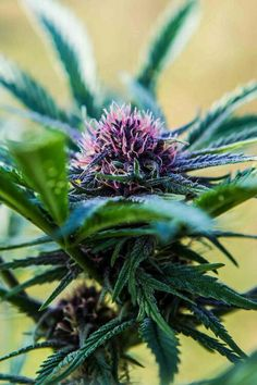 Purple Marijuana
