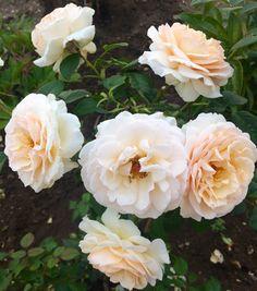Розы в саду🌹🌹