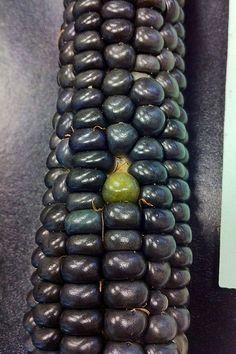 Green kernels on Hopi blue corn Corn Vegetable, Vegetable Animals, Rainbow Corn, Rainbow Fruit, Fruit And Veg, Fruits And Vegetables, Flint Corn, Glass Gem Corn, Popcorn Seeds
