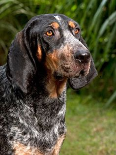 blue tick hound - My dad had several of these when I was a kid. As far as I can recall, they were all named Blue. Blue Tick Hound Puppy, Blue Tick Beagle, Hound Puppies, Hound Dog, Hunting Dogs, Hunting Humor, Hunting Cabin, Bluetick Coonhound, Large Dog Breeds