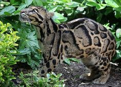 One of the rarest and most beautiful big cats, Clouded Leopard is a unique animal. A medium sized cat, it has sufficient genetic diversity to classify into a species, unique from the leopard and Bornean clouded leopard. The cat is not strictly included in big or small cats, owing to its inability to roar or purr. Length is around three to four feet, weight approximately forty to fifty pounds, with males being generally bigger. It occurs in the wild exclusively in South East Asia.