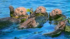 Sea Otters in Kelp, Monterey Bay, California Photographic Print by Frans Lanting Ocean Protector, Monterey Bay California, California Coast, Oregon Coast, Northern California, Frans Lanting, Otter Love, Kelp Forest, Great White Shark